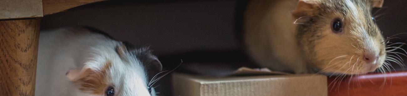 Hamsters y otros roedores